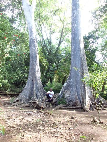 Pohon 'raksasa' yang tersisa. (Foto koleksi pribadi)