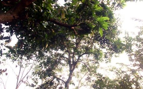 Pohon mangga belakang rumah yg buahnya tinggal satu dua. (dok. pribadi)